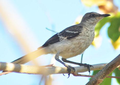 The birds of Cuba