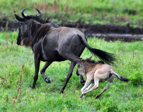 wildebeest mum and calf