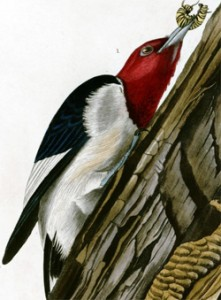 audubon_redheadedwoodpecker