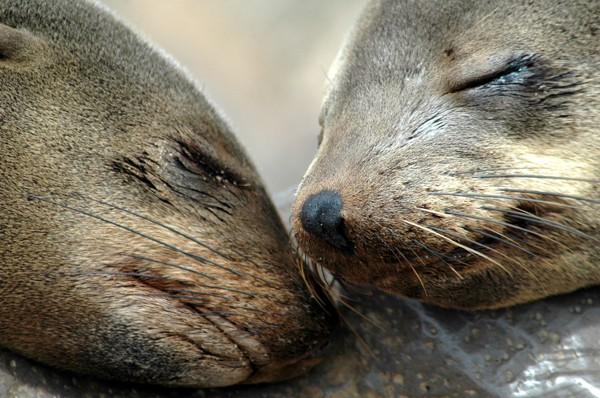 Cape fur seal noses