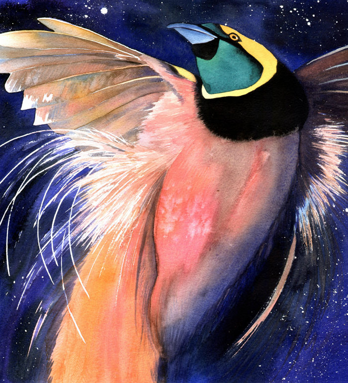 Paradisaea Raggianna, Count Raggis bird of paradise