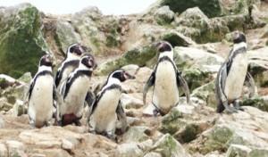 penguinhumboldt