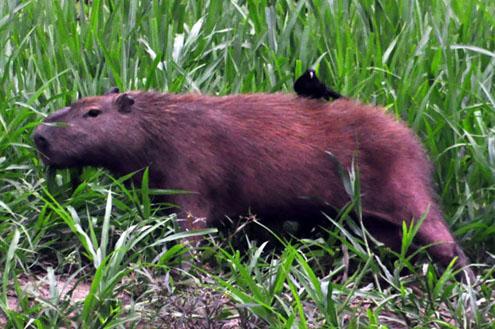 peru_capybara1