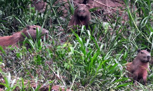 peru_capybara2