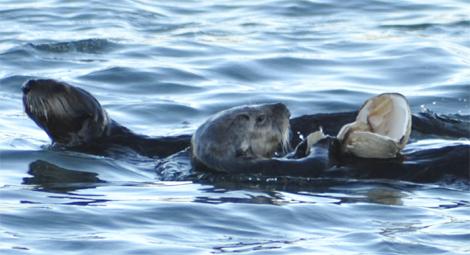 sea otter clam