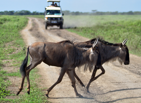 wildebeest on road