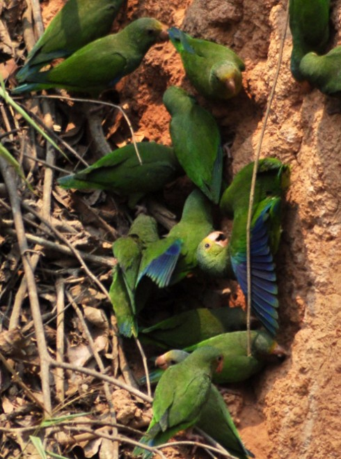 cobalt winged parakeets