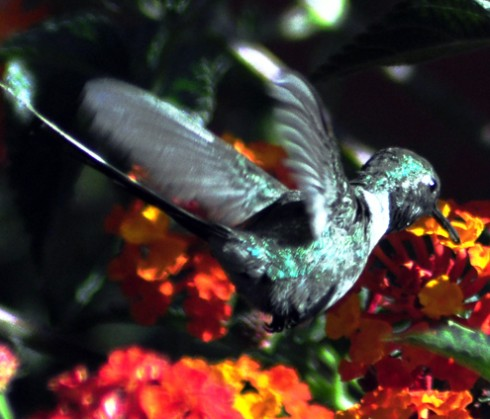hummingbirdonredflower
