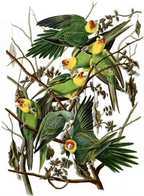 audubon_carolina-parakeet-