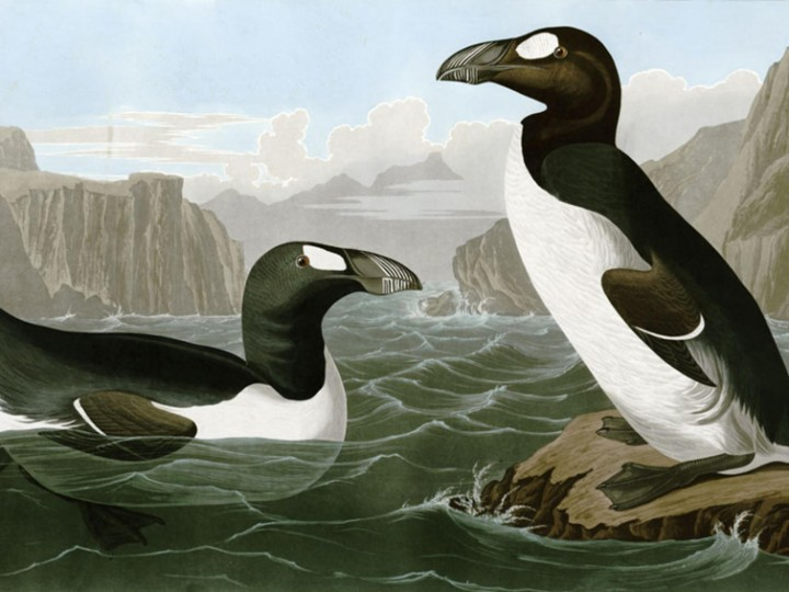 The extinction of the Great Auk – 3 July 1844