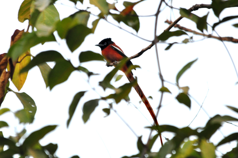 Photo of a male red-bellied African flycatcher