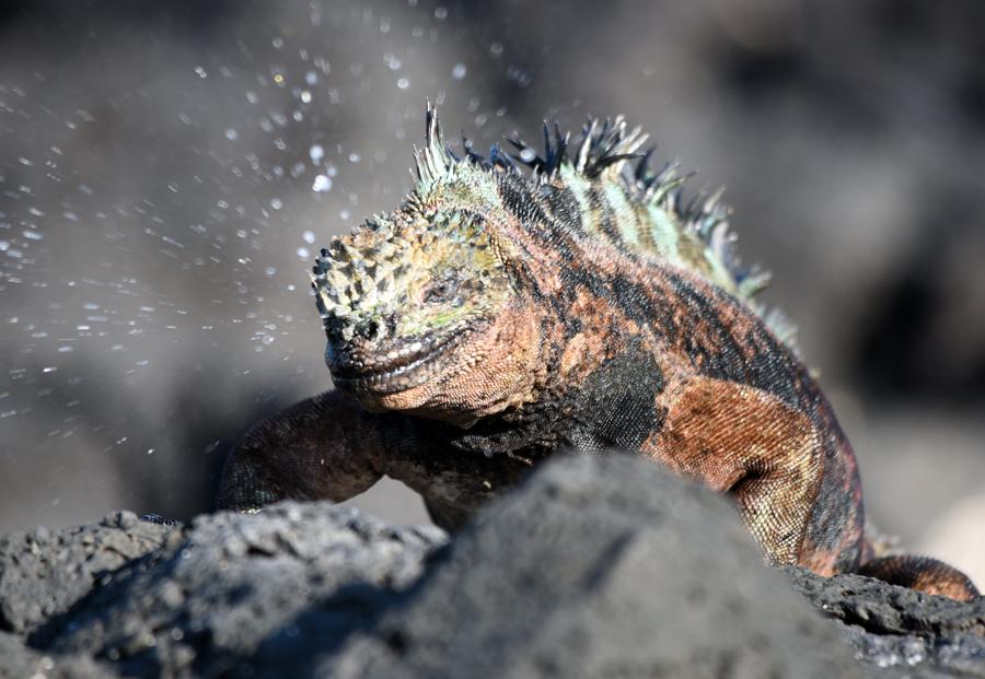 Marine iguana Galapagos salt sneeze