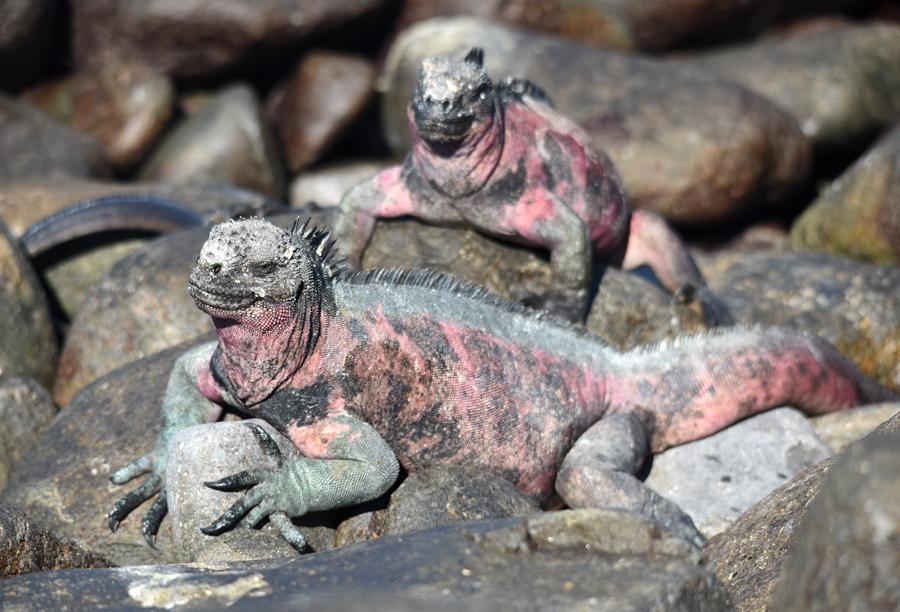 Marine iguana Espanola Galapagos