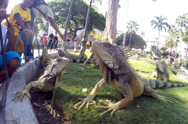 Green iguana Ecuador