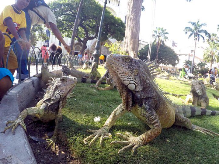 In praise of iguanas!