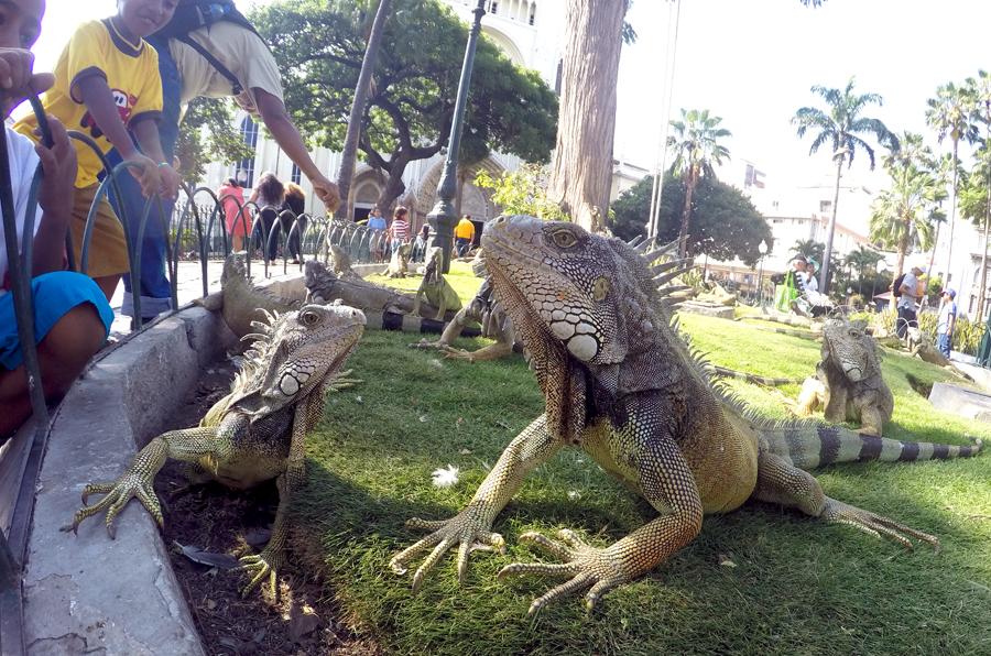 Marine Land iguana Galapagos