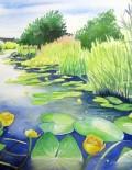 Wharf Stream Water lilies