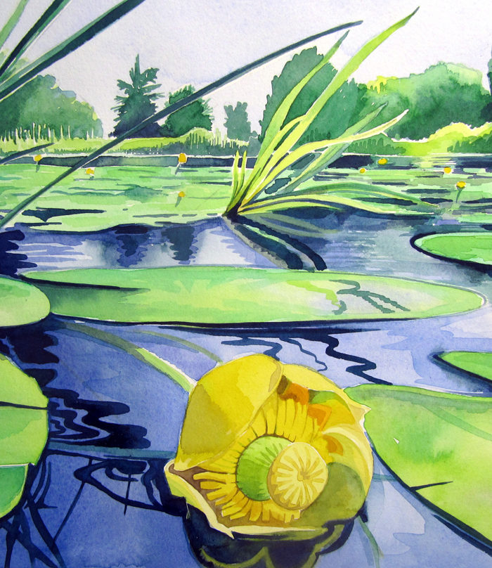 Yellow-water-lily Nuphar lutea
