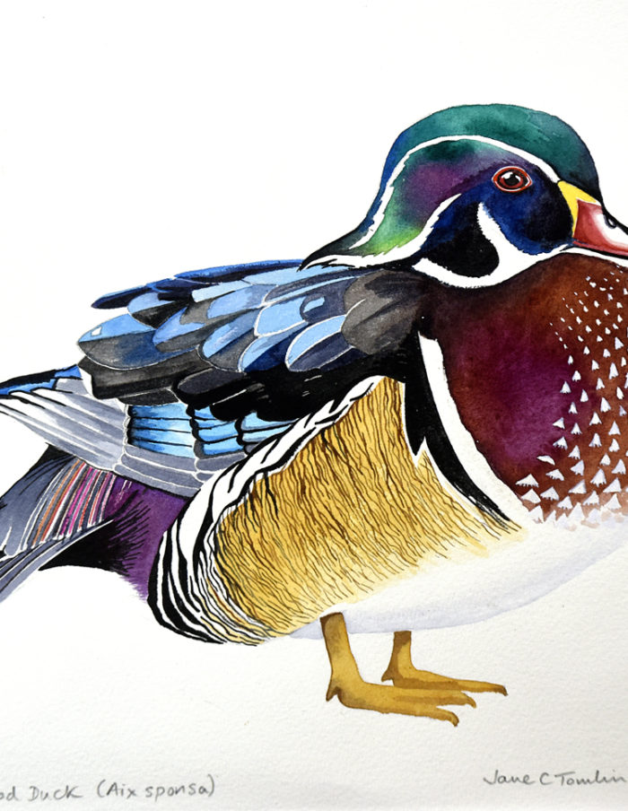 Mr Wood Duck