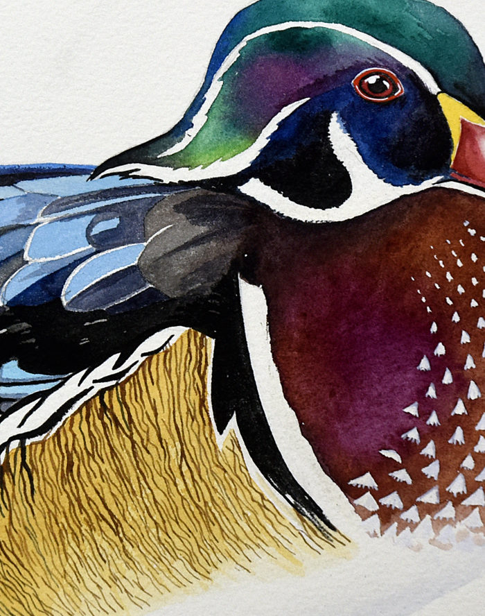 Detail of male wood (or Carolina) duck watercolour