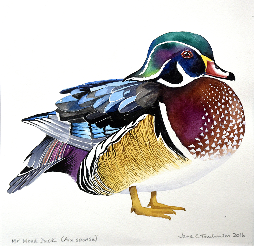 Mr Wood Duck