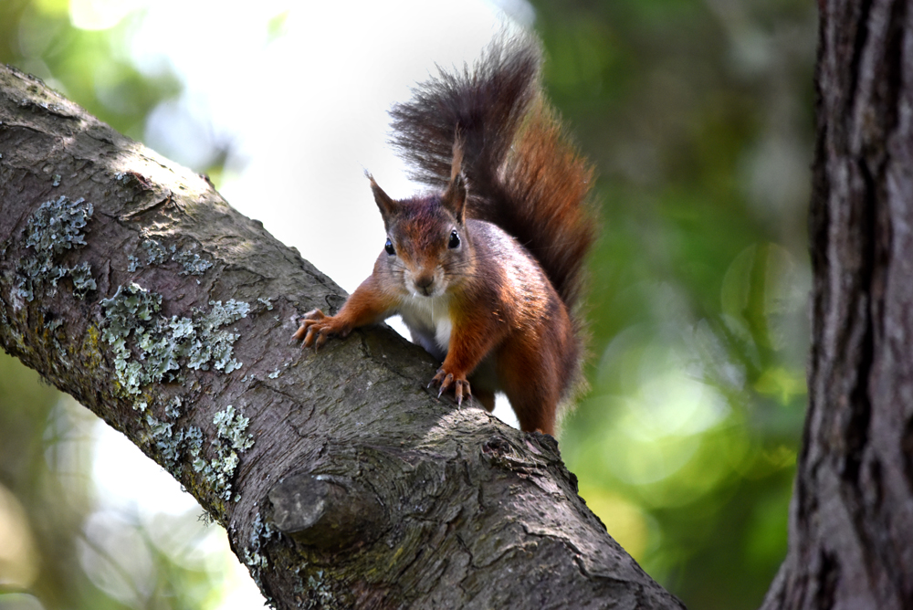 Photo of red squirrel at Tresco Abbey Gardens, Isles of Scilly