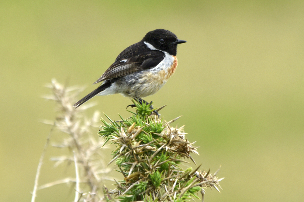 Photo of male stonechat at Porth Hellick, St Mary's, Isles of Scilly