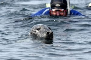 Photo of snorkeler incredibly close to a grey seal in the Isles of Scilly