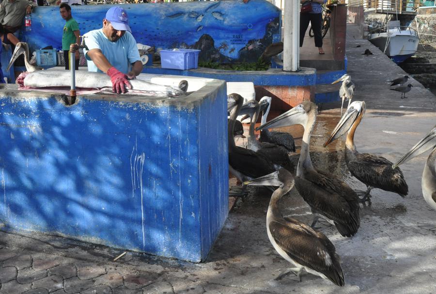 Pelicans at Puerto Ayora Fish Market Galapagos