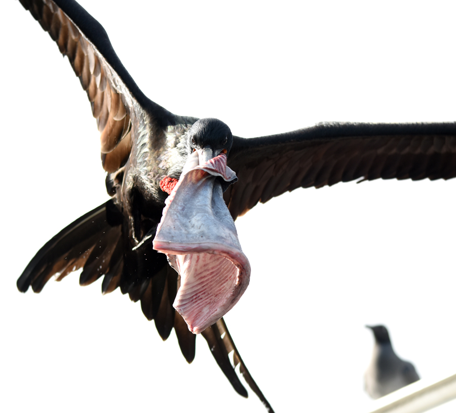 Magnificent Frigatebird at Puerto Ayora Fish Market Galapagos