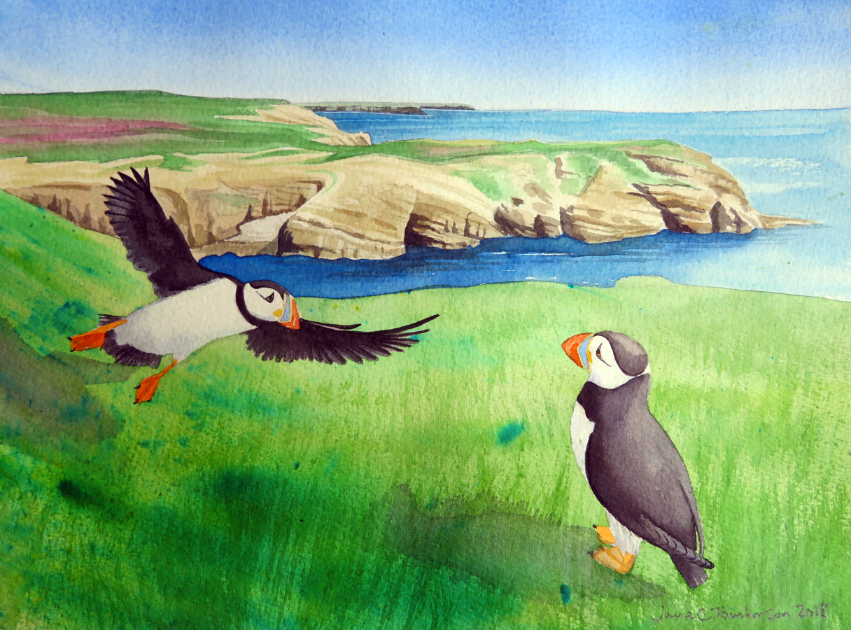Puffins at South Haven, Skomer