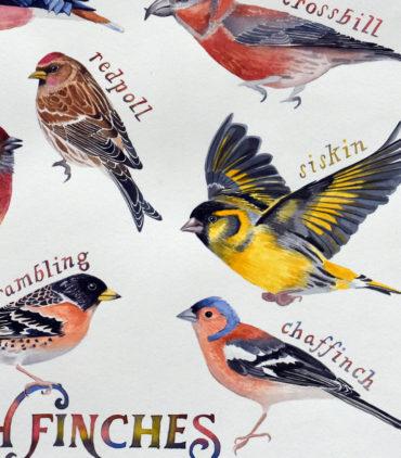 British finches