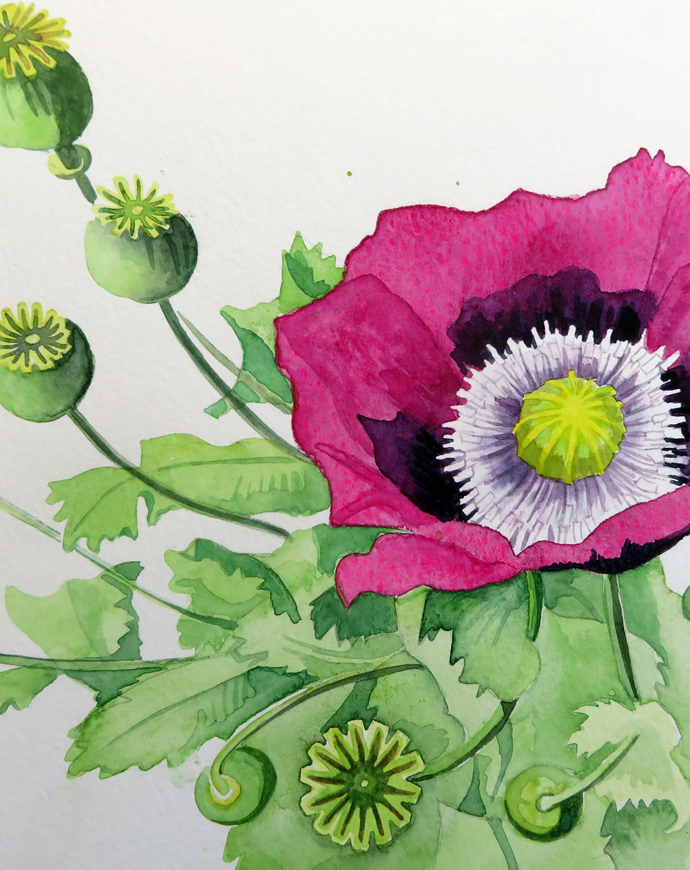 Painting of Opium poppy Papaver somniferum