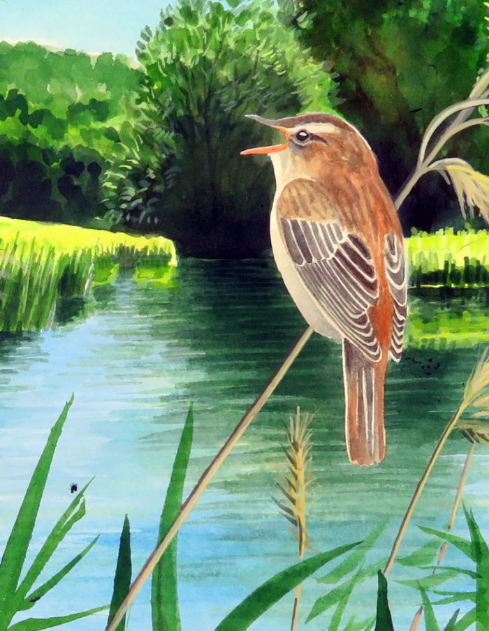 Sedge warbler by the Thames