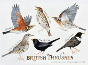 British Thrushes